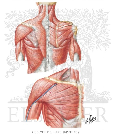 Muscles Connecting Upper Limb to Vertebral Column