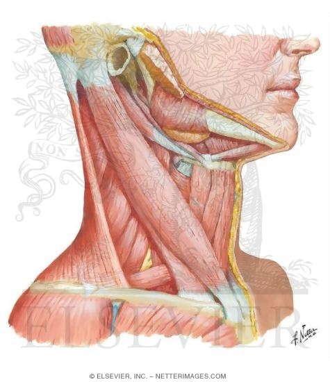 Muscles of Neck: Lateral View