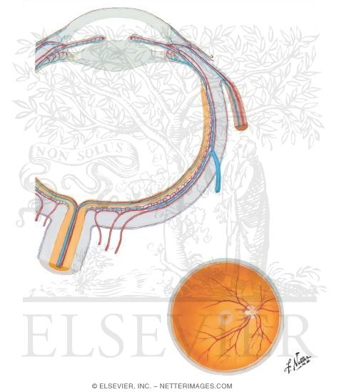 Illustration of Intrinsic Arteries and Veins of Eye from the Netter Collection