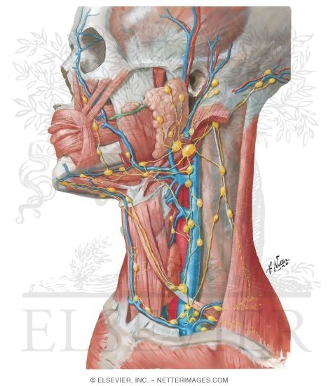 Illustration of Lymph Vessels and Nodes of Head and Neck Lymphatic Drainage of Mouth and Pharynx from the Netter Collection