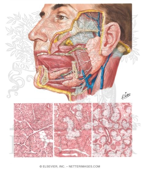 Illustration of Salivary Glands from the Netter Collection