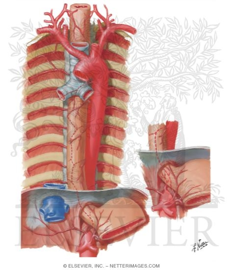 Illustration of Arteries of Esophagus Blood Supply of the Esophagus from the Netter Collection