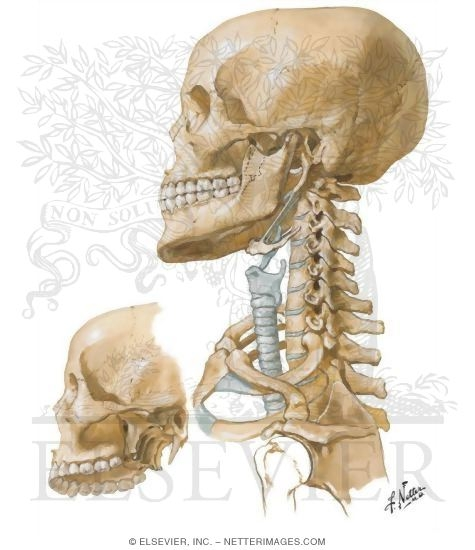 Illustration of Bony Framework of Head and Neck from the Netter Collection