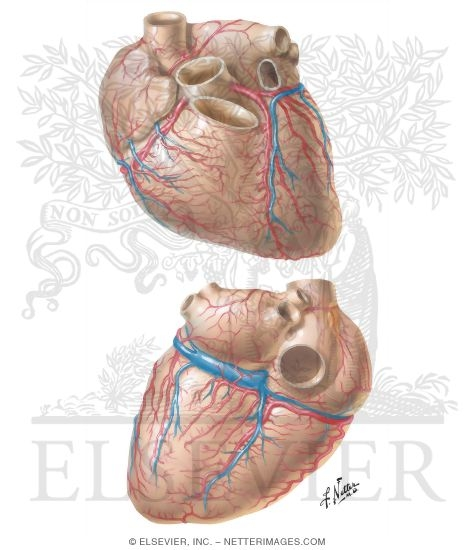 Arteries and Ve...