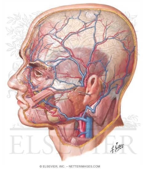 Arteries and Veins of the Scalp