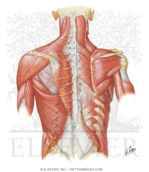 Posterior Thoracic Wall  Dorsal Aspect of Thorax