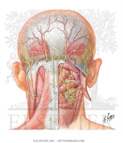 Quick Fix For Headaches  Repeated Nerve Supraorbital