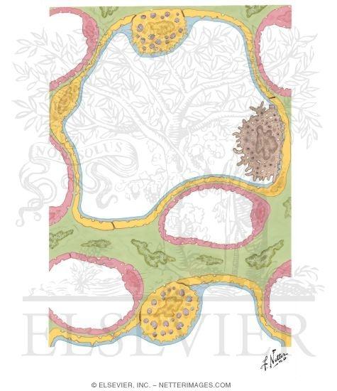 ultrastructure of pulmonary alveoli and capillaries. Black Bedroom Furniture Sets. Home Design Ideas