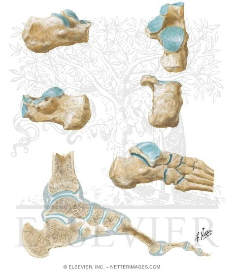 Anatomy of the Calcaneus