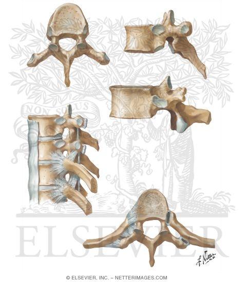Thoracic Vertebrae And Rib Attachments