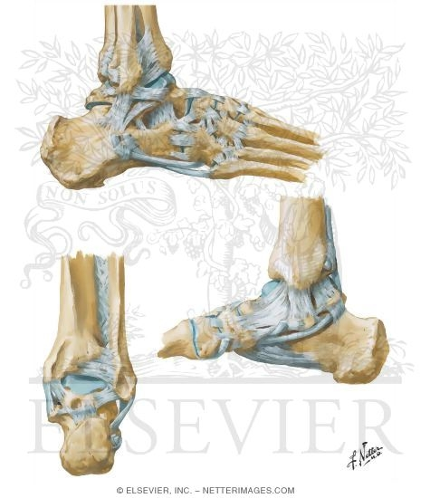 Of The Ankle And Foot Calcaneus