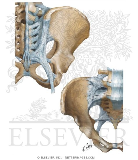 Bones And Ligaments Of Pelvis