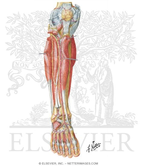 Arteries And Nerves Of Leg Deep Dissection Anterior View Muscles