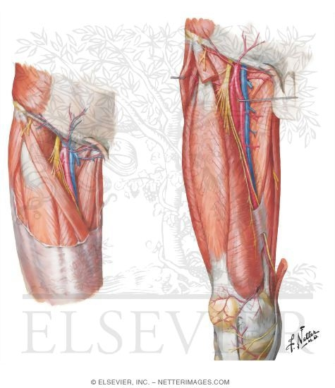 and nerves of thigh: anterior views superficial dissections, Muscles