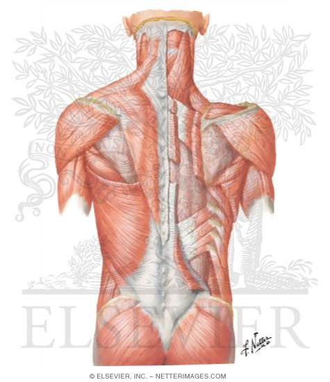 Muscles of Back: Superficial Layers