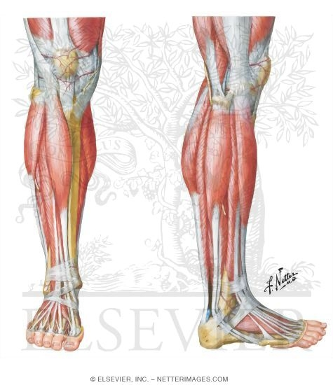 Muscles, Arteries, and Nerves of Leg: Superficial Dissection Muscles ...