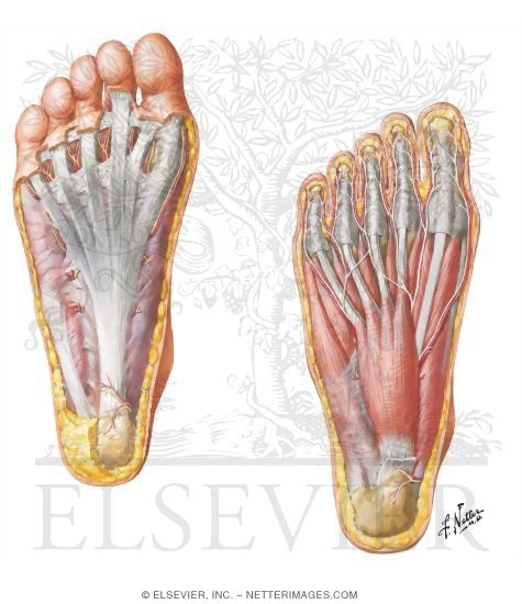 Muscles, Arteries, and Nerves of Sole of Foot Sole of Foot ...