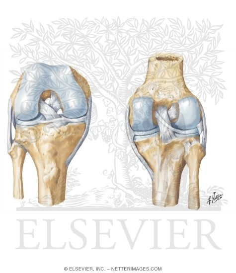 Cruciate and collateral ligaments of right knee joint knee cruciate cruciate and collateral ligaments of right knee joint knee cruciate and collateral ligaments ccuart Gallery