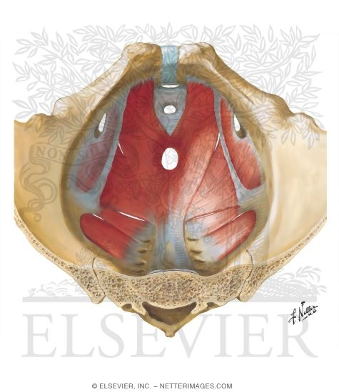 Pelvic Diaphragm: Male Floor Of Abdominopelvic Cavity