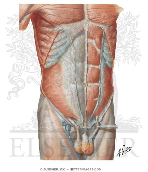 Illustration of Anterior Abdominal Wall: Intermediate Dissection Anterolateral Abdominal Wall from the Netter Collection