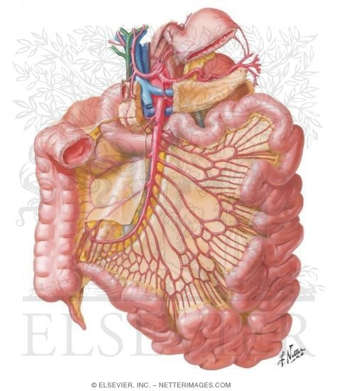 Of Small Intestine Blood Supply Of Small And Large Intestine