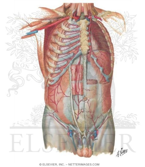 Of Anterior Abdominal Wall Blood Supply Of The Abdomen