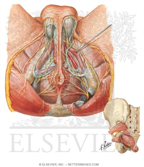Innervation of Abdomen and of Perineum