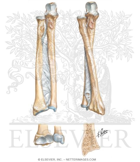 Of Forearm Osteology Of The Forearm