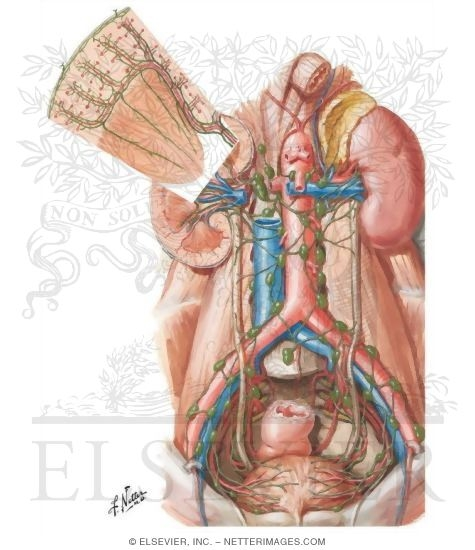 Illustration of Lymph Vessels and Nodes of Kidneys and Urinary Bladder Lymphatic Drainage of Kidneys, Ureters and Urinary Bladder from the Netter Collection