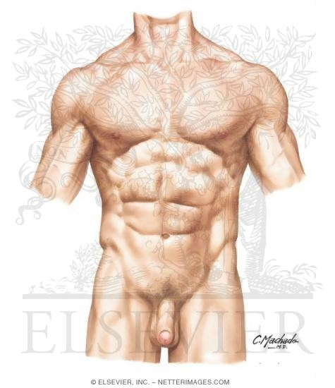Abdomen Anatomy Male Abdomen Surface Anatomy