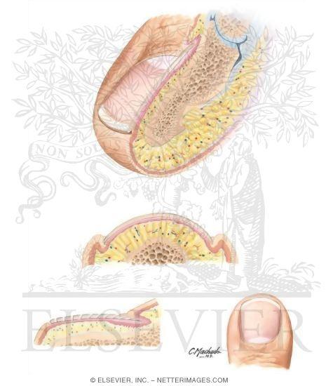Anatomy Of The Toenail