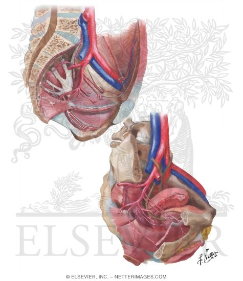 Arteries and Veins of Pelvis: Female Blood Supply of Pelvis II