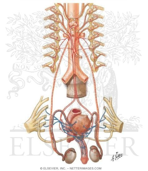Innervation of Male Reproductive Organs: Schema