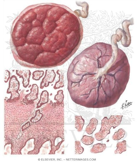 Placenta I - Form and Structure