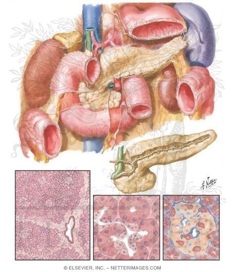 Pancreas Anatomy And Histology