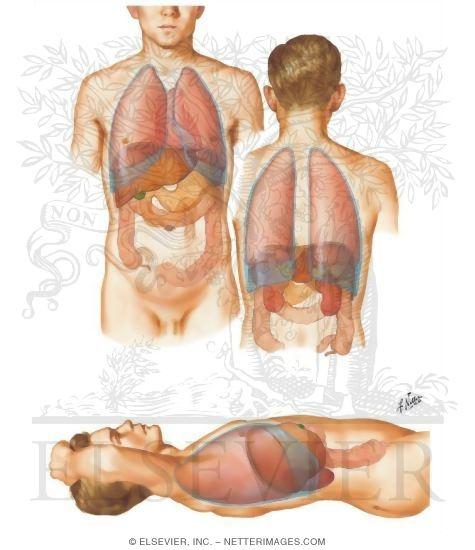 location of the normal liver: topography, Human Body