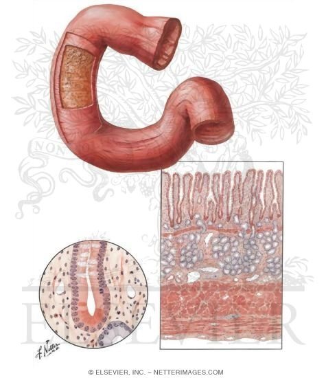 Mucosa and Musculature of Duodenum