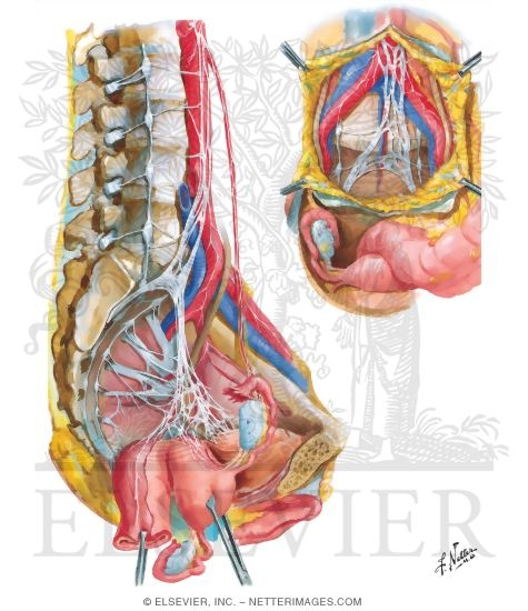 Innervation of Internal Genitalia Nerves of Pelvic Viscera: Female