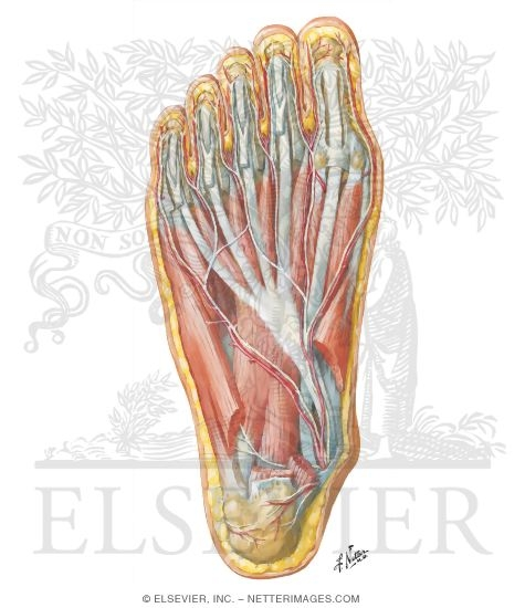 Bottom Of The Foot Anatomy