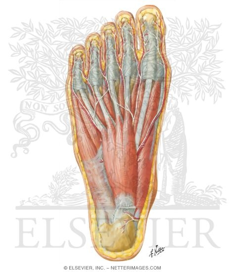 Illustration of Muscles of Sole of Foot: First Layer from the Netter Collection