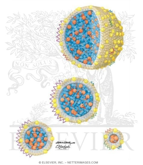 Illustration of Lipoprotein Structure and Function from the Netter Collection