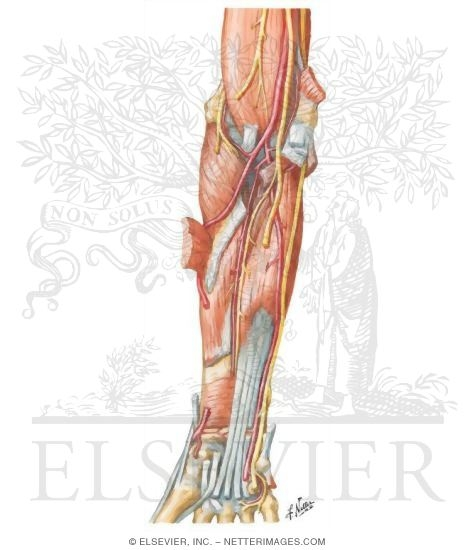 Arteries Nerves And Muscles Of Upper Limb Anterior View Muscles
