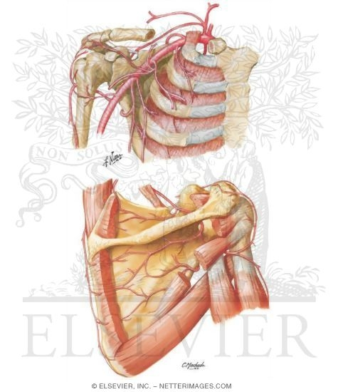 Artery And Anastomoses Around Scapula