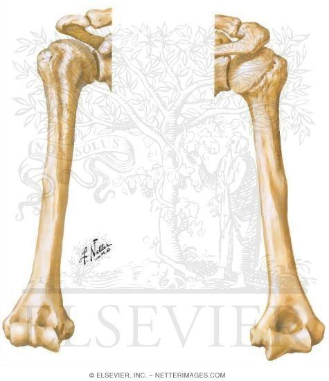 Illustration of Osteology: Anterior and Posterior View of the Humerus from the Netter Collection
