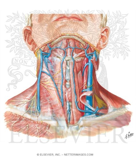 Illustration of Superficial Veins and Cutaneous Nerves of Neck from the Netter Collection