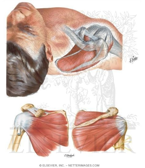 Muscles Of Rotator Cuff