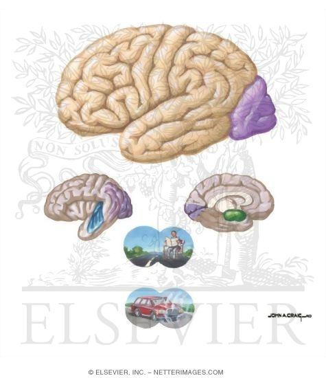 Occipital Lobe Functional Anatomy