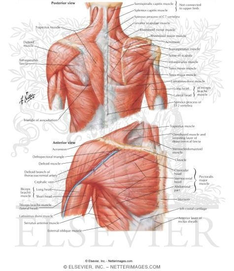Muscles Connecting Upper Limb To Vertebral Column Muscles Of Shoulder