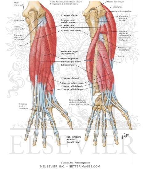 Individual Muscles of Forearm: Extensors of Wrist and Digits
