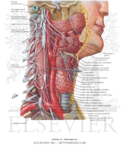 Autonomic Nerves in Neck